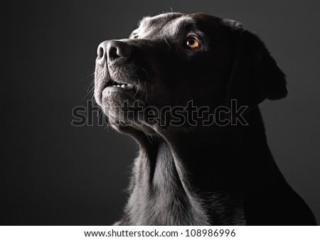 Low Key Shot of a Labrador - stock photo