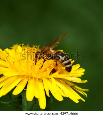 Low point of view macro of honeybee (Apis mellifera) drinking nectar and pollening on dandelions yellow flower (Taraxacum officinale) over green maedow background