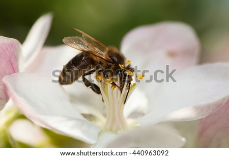 Low point of view macro of honeybee (Apis mellifera) drinking nectar on apple flower - stock photo