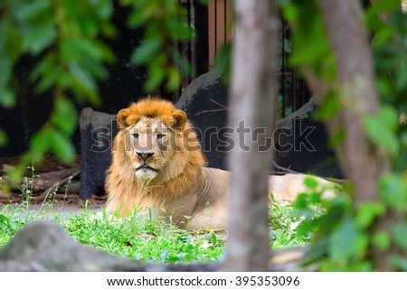 Lower lion lying in the woods. - stock photo