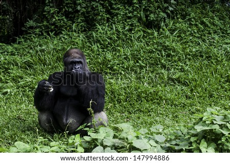 Lowland Gorilla (eating)