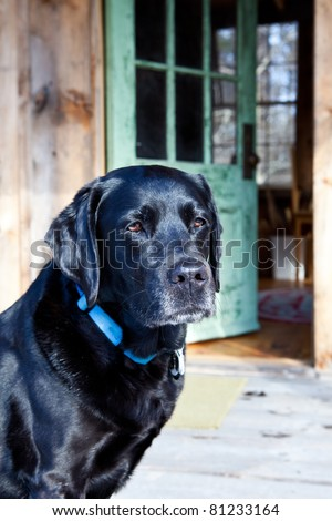 Loyal black labrador dog stands at front door
