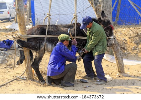 LUANNAN COUNTY - MARCH 23: Craftsmen giving a donkey shod on march 23, 2014, luannan county, hebei province, china