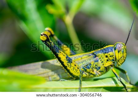 Lubber grasshopper in nature habitat - stock photo