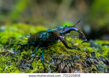 stock-photo-lucanus-cervus-stag-beetle-o