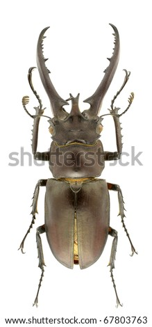 Lucanus hermani (stag beetle) isolated on a white background. - stock photo