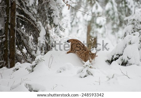 Luchs (lynx lynx) walking in the snow
