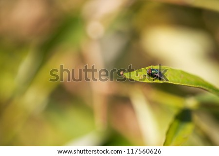 Lucilia coeruleiviridis (Greenbottle fly) - stock photo