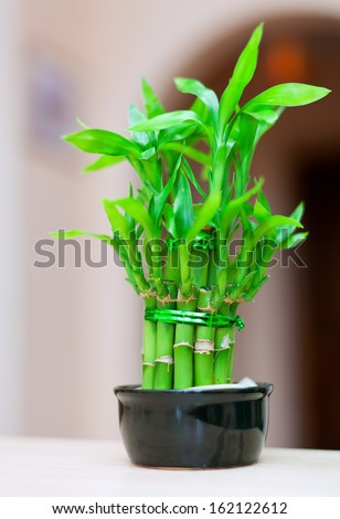 lucky bamboo plant in  pot at house interior - stock photo