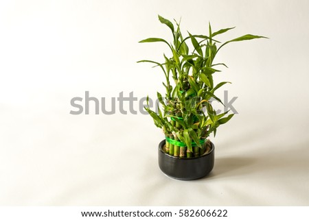 lucky bamboo plant small bamboo in the pot isolated on white background close