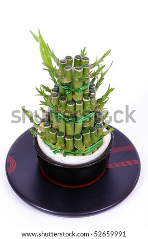 Lucky bamboo with white background - stock photo