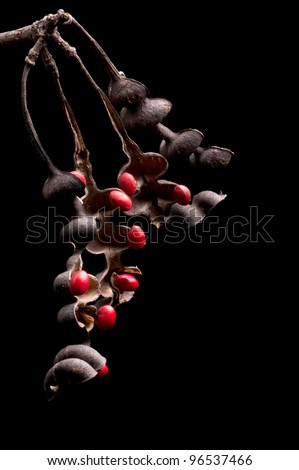 Lucky Bean Seeds (Erythrina Coral flower seeds)