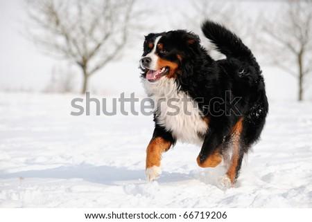 lucky Bernese Berner Sennenhund - stock photo