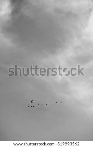 Lucky no. birds flying in sky, black & white. selective focus. - stock photo