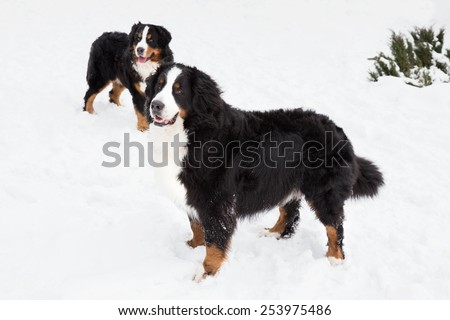 lucky two Bernese Berner Sennenhund in snow. Beautiful dogs. Bernese . Winter day, winter outdoors - stock photo