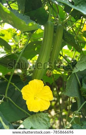 Sponge Gourd Stock Images Royalty Free Images Amp Vectors
