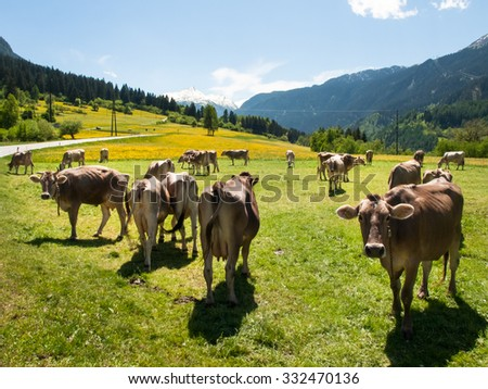 Lukmanierpass Walley, Switzerland: Cows grazing next to the farm. - stock photo