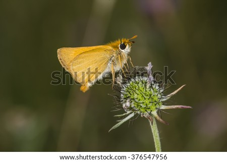 Lulworth Skipper butterfly (Thymelicus acteon) from Lower Saxony, Germany - stock photo