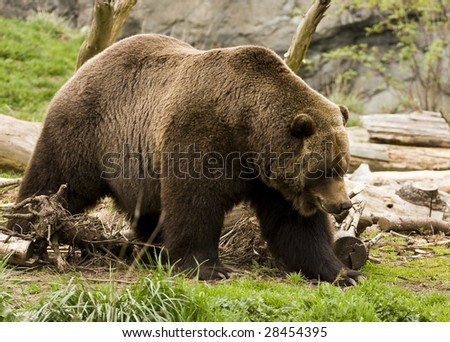 Lumbering Grizzly Bear - stock photo