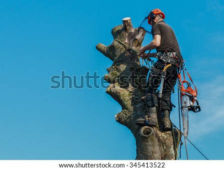 Lumberjack roped working at the top of a tree.  He is tied by safety lines to the tree and has a chainsaw hanging from his belt.  The tree is being felled. - stock photo