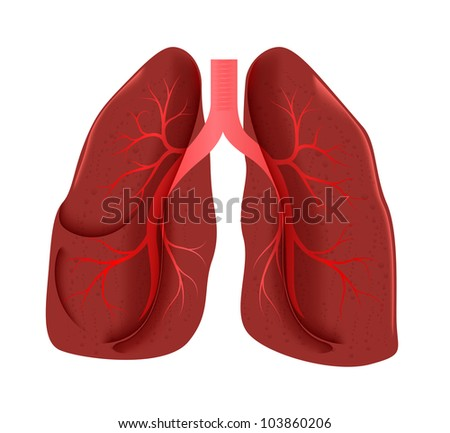 lungs anatomy - stock photo