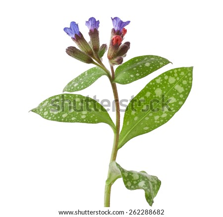 Lungwort medicinal (Pulmonaria officinalis) isolated on white  - stock photo