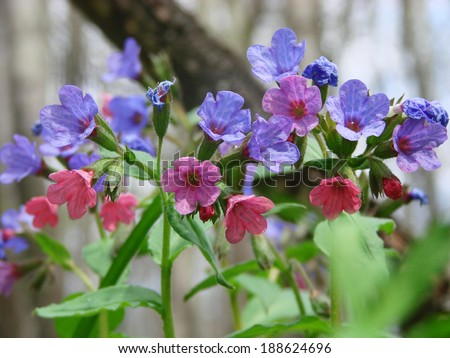 Lungwort or Pulmonary (Pulmonaria) in the forest - stock photo