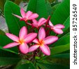 Luntom, Plumeria tree - stock photo