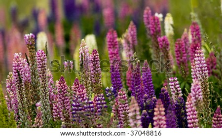 Lupin flowers add a splash to to the otherwise stark hillsides on the high Andean mountains of Southern Patagonia. Taken in Torres Del Paine National Park. - stock photo