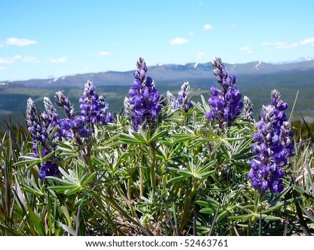 Lupine Flower Growing on Mt. Washburn, Yellowstone National Park - stock photo