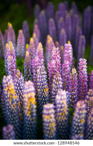 lupine flowers close-up - stock photo