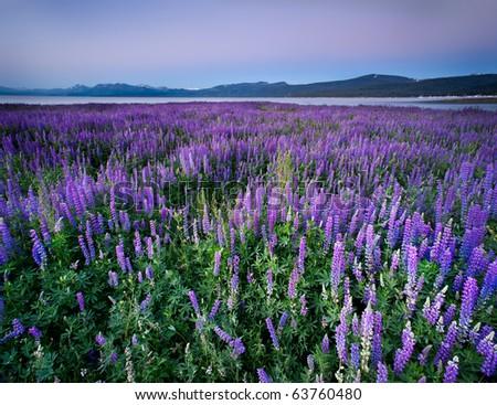 Lupine Meadow - Lake Tahoe, California - stock photo