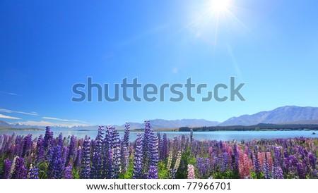 Lupines under sunshine by the Lake Tekapo, New Zealand - stock photo