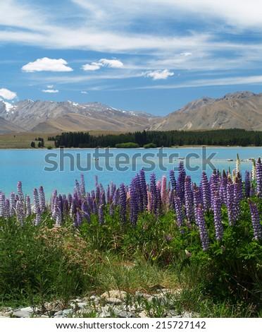 Lupins at Lake Tekapo, New Zealand - stock photo