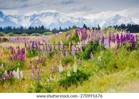 Lupins blooming with Southern Alps backgraund, New Zealand - stock photo