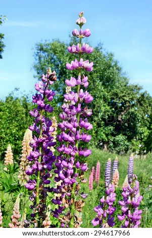 Lupins growing in the garden beautiful blue sky background - stock photo