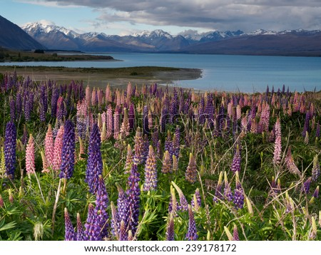 Lupinus blossom at Lake Tekapo with snow mountains, South Island, New Zealand - stock photo