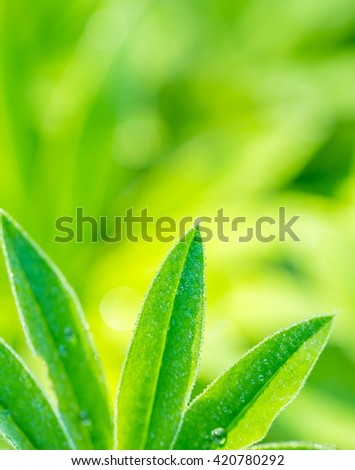 Lupinus leaves growing in nature. Beautiful summer background