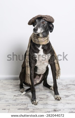 Lurcher dog wearing flat cap and scarf - stock photo