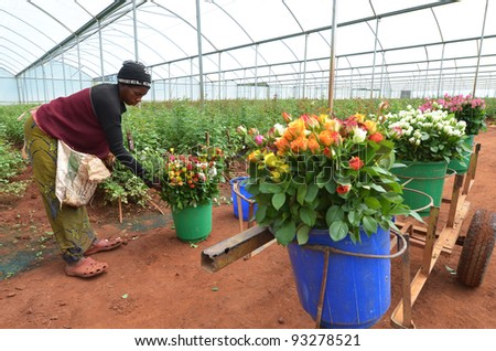 LUSAKA, ZAMBIA - DECEMBER 2:African women in the greenhouses gather roses for export to Europe, which provide employment to 800 farmers, on December 2,2011 in Lusaka, Zambia