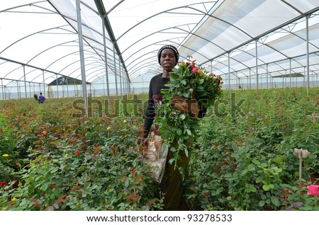 LUSAKA, ZAMBIA - DECEMBER 2: African women in the greenhouses select  roses for export to Europe, which provide employment to 800 farmers, on December 2,2011 in Lusaka Zambia - stock photo