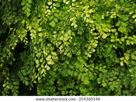Lush Adiantum capillus-veneris, also known as Southern maidenhair fern, black maidenhair fern, maidenhair fern,or venus hair fern, shot from above and dark tone - stock photo