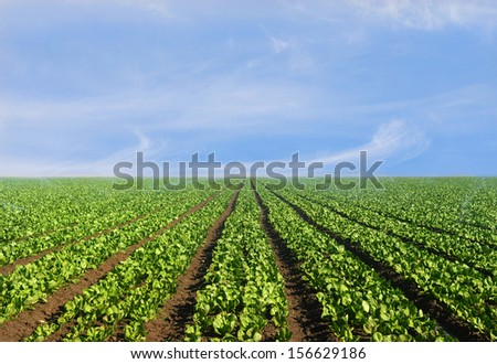 Lush agricultural field of lettuce on a bright sunny day - stock photo