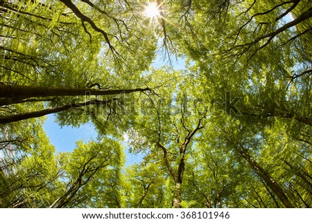 Lush beech forest canopy - stock photo
