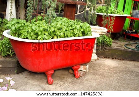 Lush, bushy, basil herb growing in a vintage red clawfoot bathtub in a patio garden. - stock photo