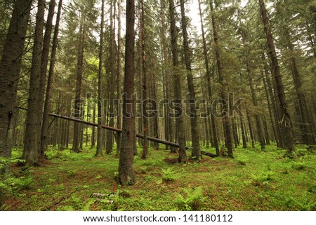Lush deep green forest with large old trees - stock photo