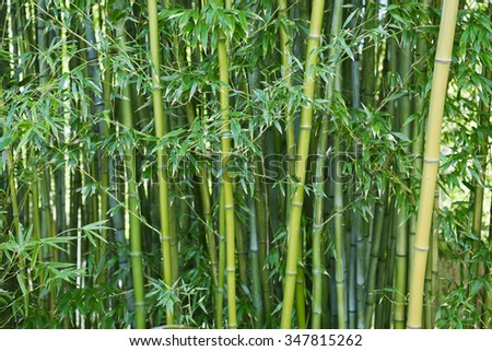 Lush, exotic, fresh  green bamboo jungle background - stock photo