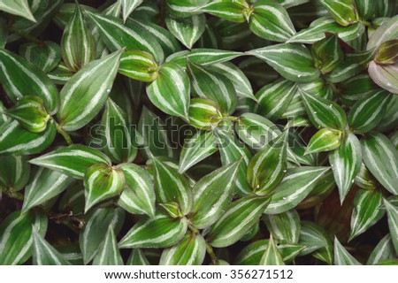 Lush foliage of Wandering Jew plant, scientific name Tradescantia zebrina a species of spiderwort. - stock photo