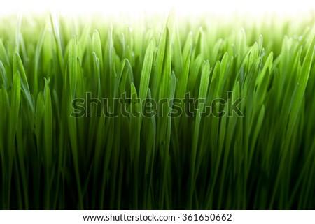 Lush, fresh green wheatgrass background - stock photo
