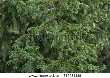 lush green branches with needles fir closeup
